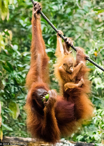 Borneo Orangutan Sanctuaries